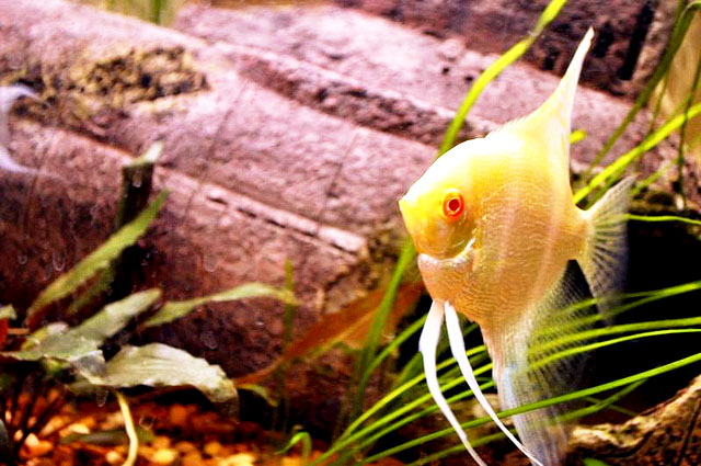 Albino Pearscale Angelfish Red Eye Image