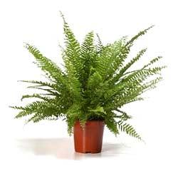 Plantas m gicas 49 el helecho mi rinc n m gico for Plantas ornamentales helechos