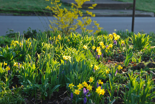 Morning sunlight through Narcissus 'Tete-a-tete' and Crocus 'Grand Maitre' in Cherry Corner... echoing again with the yellow forsythia in the Front Woodland.