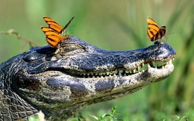 Mariposas descansando sobre la cabeza de un cocodrilo