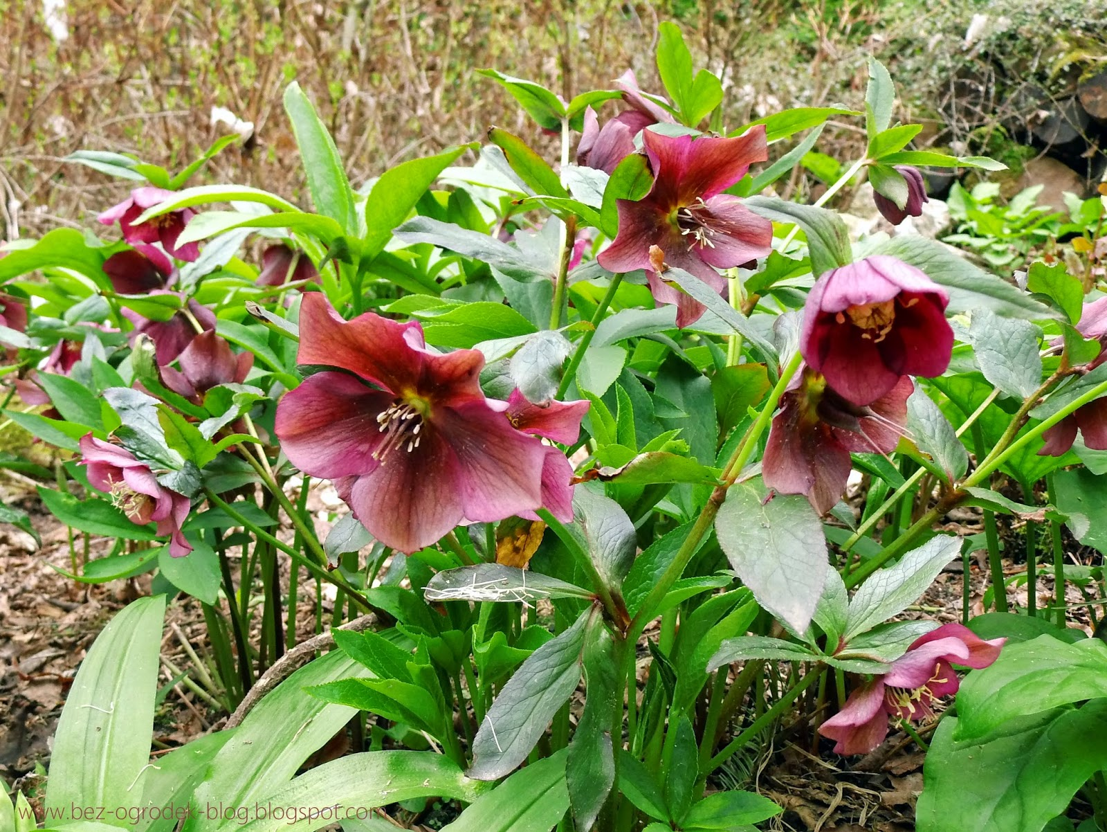 helleborus flowers in the color of the year