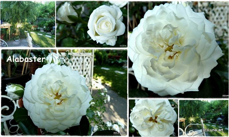 lunas garten rosen vielfalt vorwiegend wei. Black Bedroom Furniture Sets. Home Design Ideas
