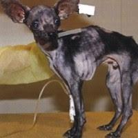 Vampiro The Chihuahua