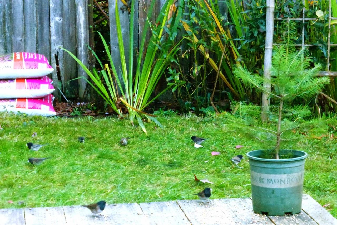 Eugene, Oregon, autumn, birds, fall, garden, Under The Plum Blossom Tree
