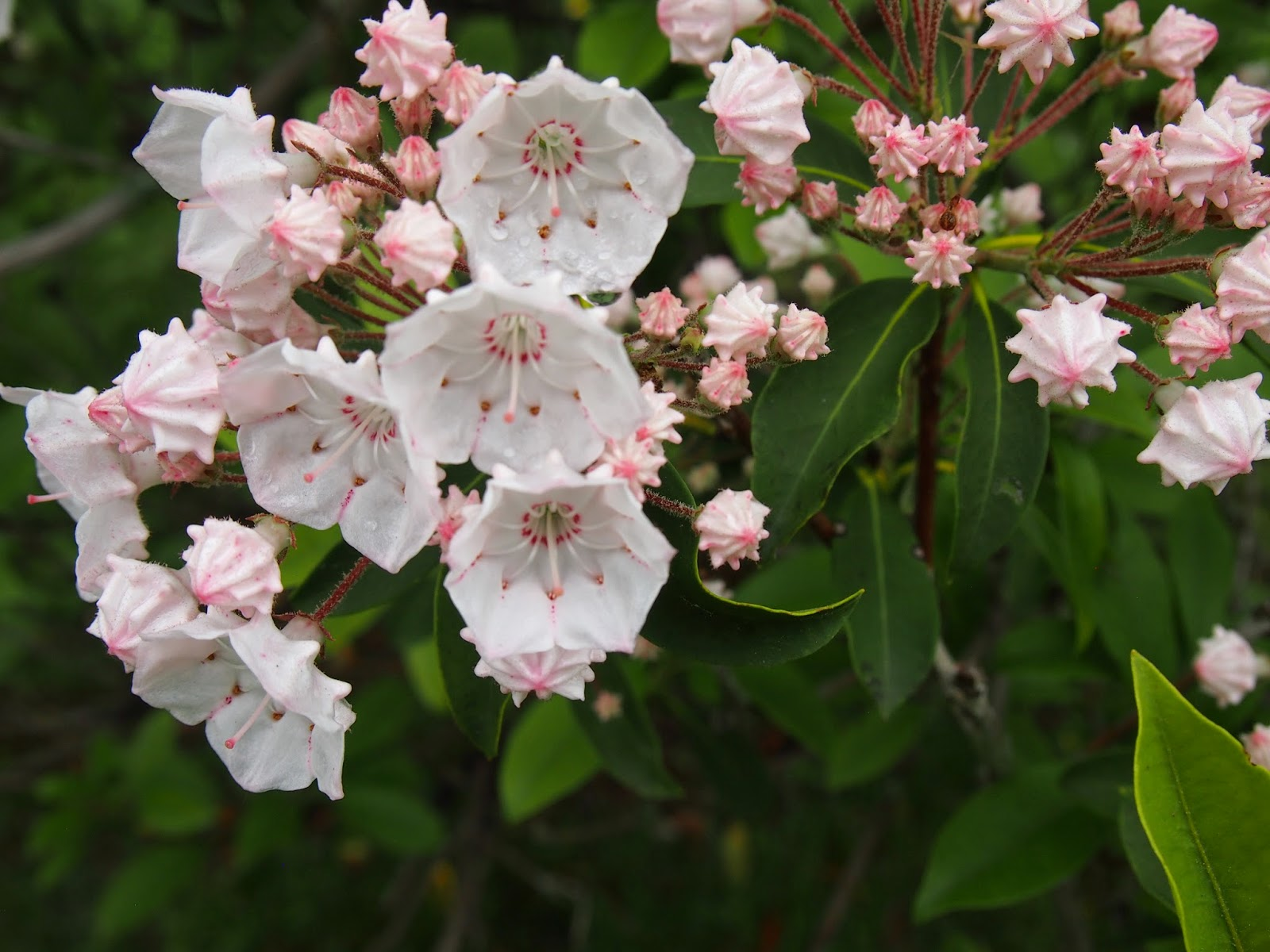 mountain laurels - the Connecticut state flower