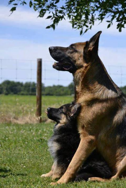 Qualities of a German Shepherd