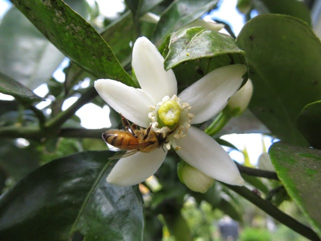 Honey bee on orange blossom