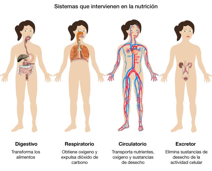 Cuartosabc329: EL CUERPO HUMANO ÓRGANOS Y SISTEMAS