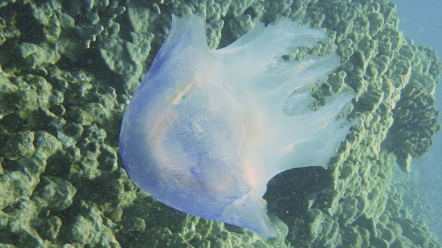 Jellyfish at Honaunau, Big Island, Hawaii