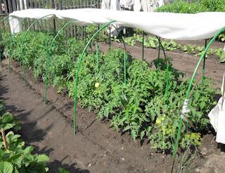 29.07. Грядка безрассадных помидоров. Завязи понемногу подрастают.