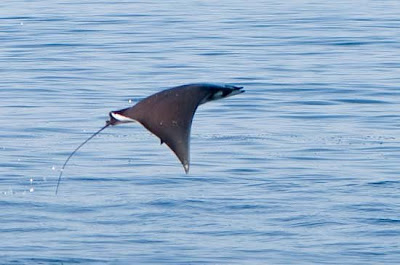 Loài động vật kì lạ: Cá đuối bay
