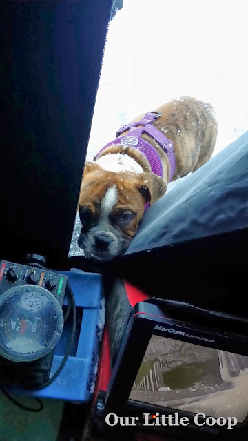Victorian bulldog, icefishing, winter, snow, harness, vexilar