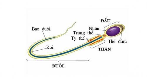 cấu tạo tinh trùng