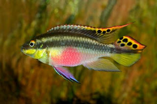 10 Ikan Tercantik Di Seluruh Lautan Dan Tasik