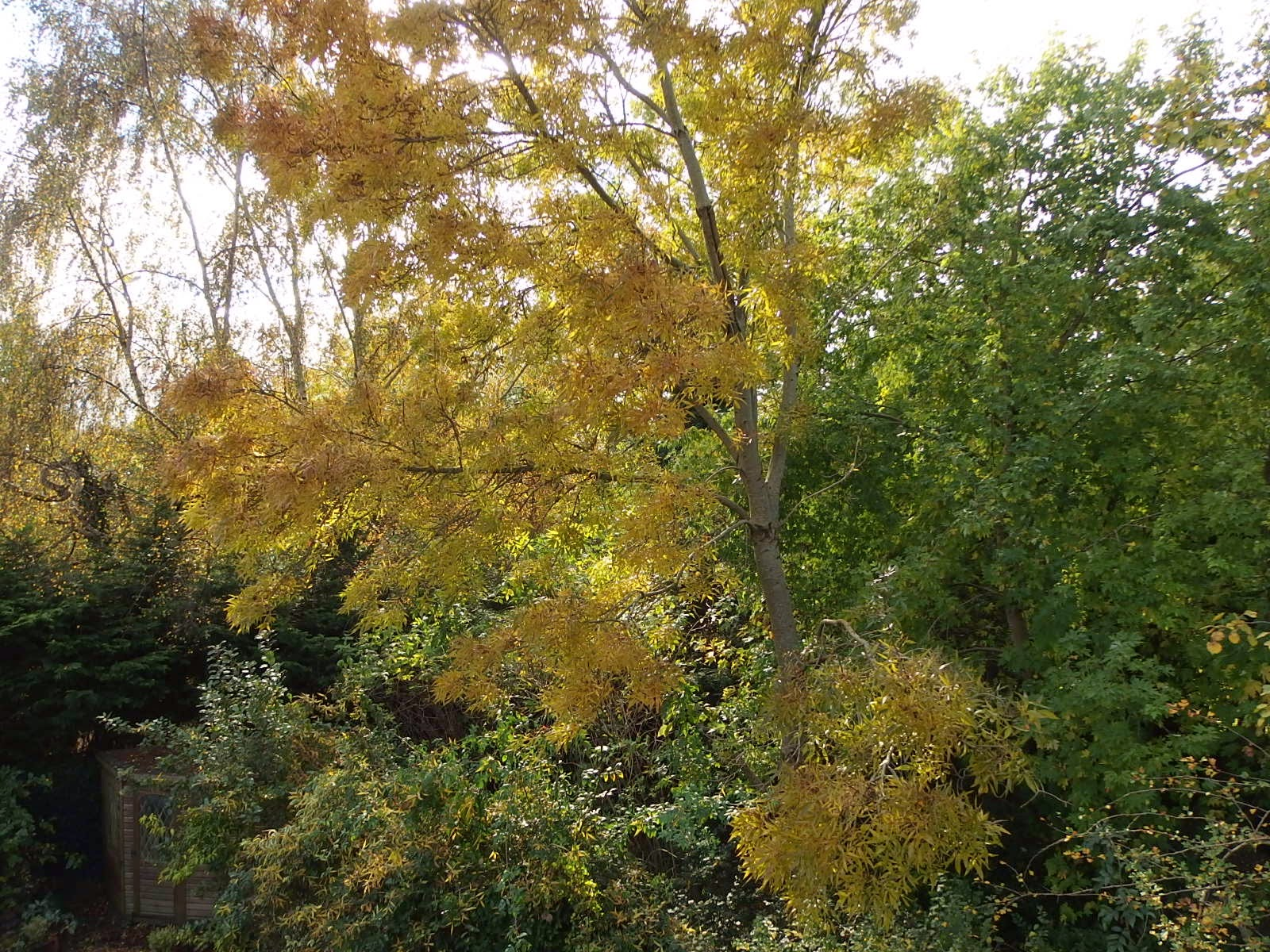 Photo of an ash tree at its most golden moment October 2014