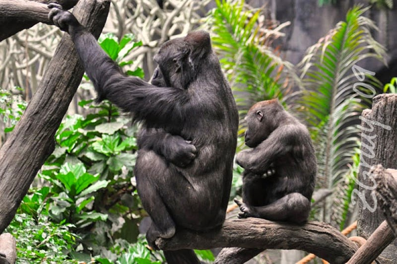 20. An ape and her child, hanging out on a branch. - 30 Animals With Their Adorable Mini-Me Counterparts