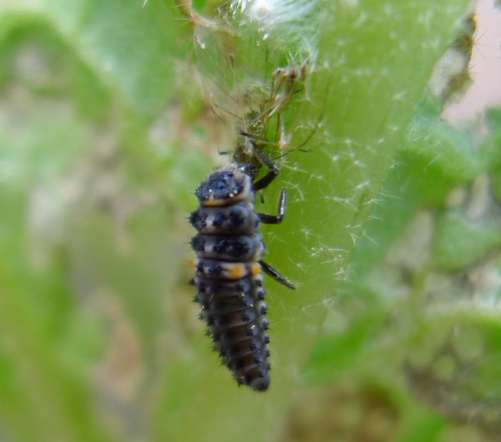 Lady bug larvae, organic pest control