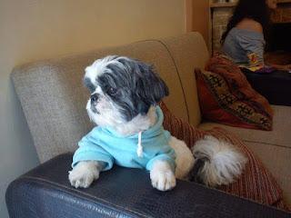 Χάθηκε μικρόσωμο σκυλάκι στην περιοχή της Οβρυάς. Ακούει στο όνομα Σίμπα και φοράει κόκκινο περιλαίμιο.