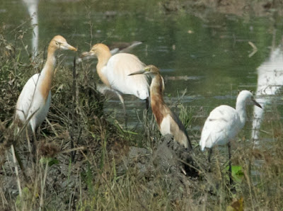 Javan Pond Heron (Ardeola speciosa) and Eastern Cattle Egret (Bubulcus coromandus)