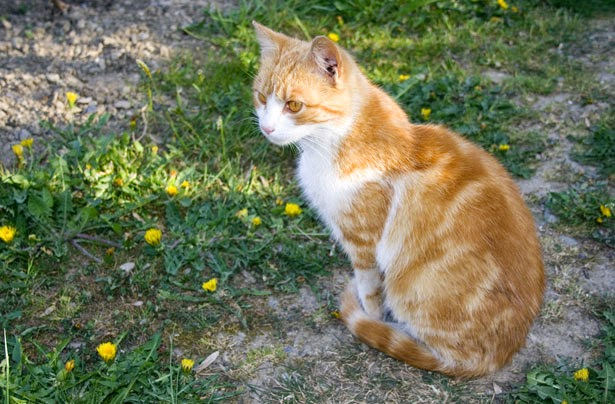 treat ringworm in cats