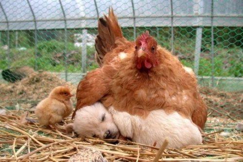 ayam kelakar