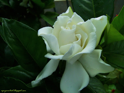 Gardenia jasminoides, Cape Jasmine, Cape Jessamine, 栀子花