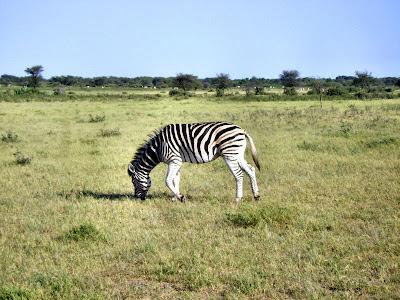 Zebra w Khama Rhino Sanctuary