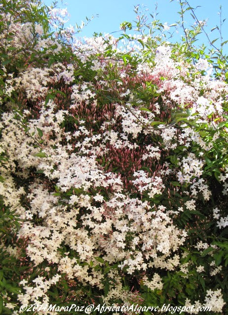 Highly scented jasmine