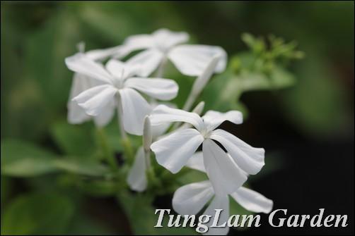 Bạch hoa xà, hoa bạch xà, hoa thanh xà, thanh xà