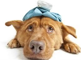hund syg