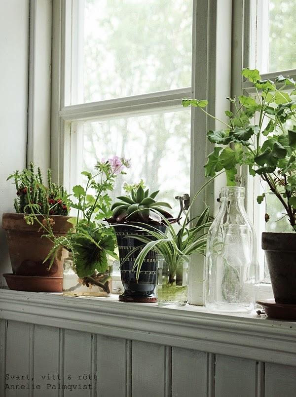fönster med blommor, olika krukor i fönstret, vitt, gammal gård i varberg