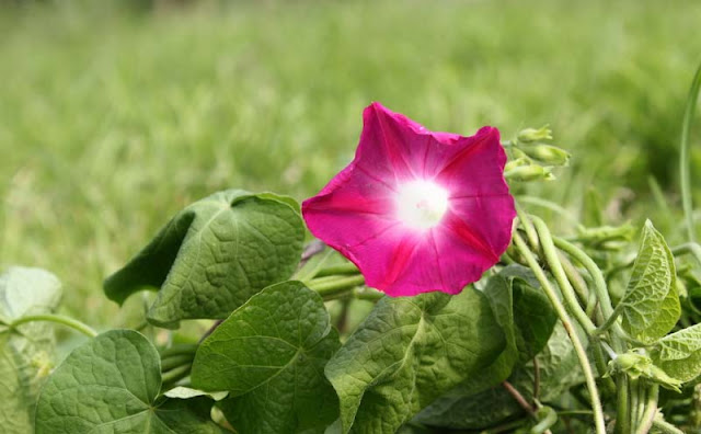 Morning Glory Flowers Pictures