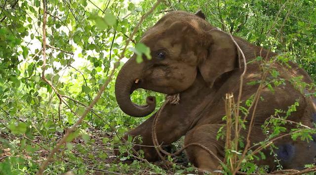 Het baby olifantje wordt meegenomen naar het Elephant Transit Home, Sri Lanka