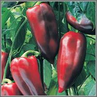 Сладкий перец сорт «Буратино»