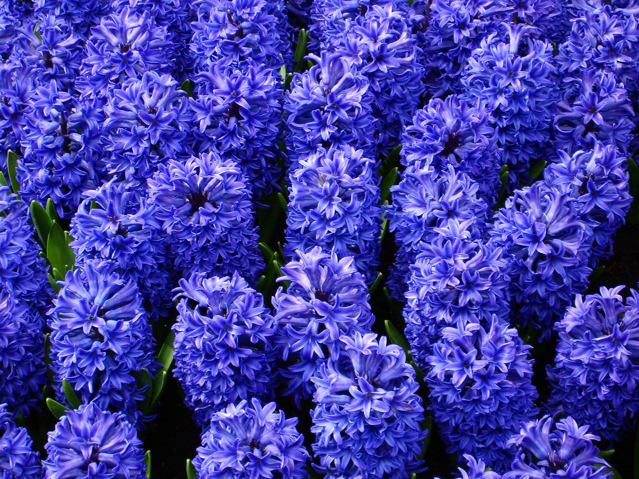 Fotos De Flores Azules Y Violetas - Plantas con flores azules y violetas: nombres y fotos