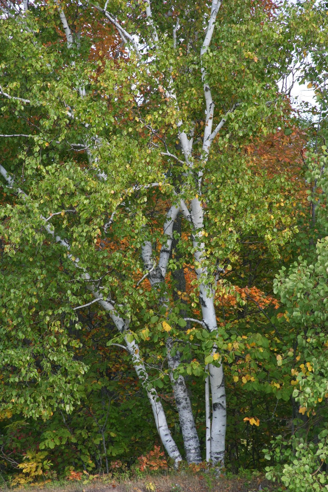 paper birch trees Birch trees are of many varieties, paper birch being one of them what gives it this name is its bark that grows white and papery with age this buzzle article gives.