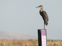 Great Blue Heron at Farmington Bay