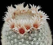 Mammilaria Candida