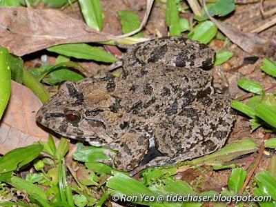 Field Frog (Fejervarya limnocharis)