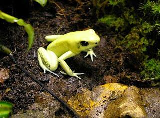 Le Saviez-vous ? Le poison le plus puissant au monde Phyllobates--terribilis-dendrobates-grenouille-poison-v%C3%A9n%C3%A9neuse-2