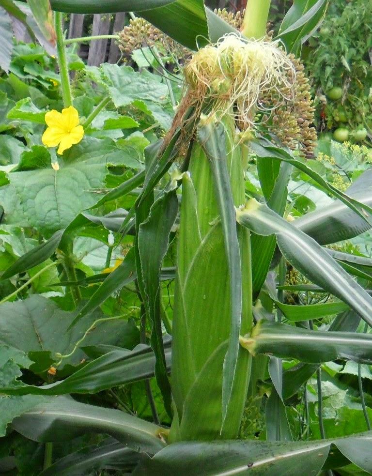 Кукуруза и огурцы