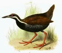 rascon acollarado Gallirallus torquatus