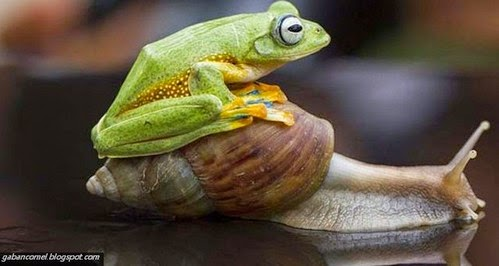 Foto Katak Digendong Siput Babi Gemparkan Dunia Fotografi