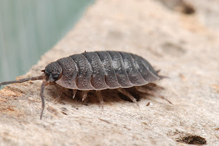 woodlice coursework However, woodlice are decomposers and do eat decaying or rotting matter such as rotting leaves and e ven other dead woodlice i have a woodlice culture and i have observed woodlice eat other.