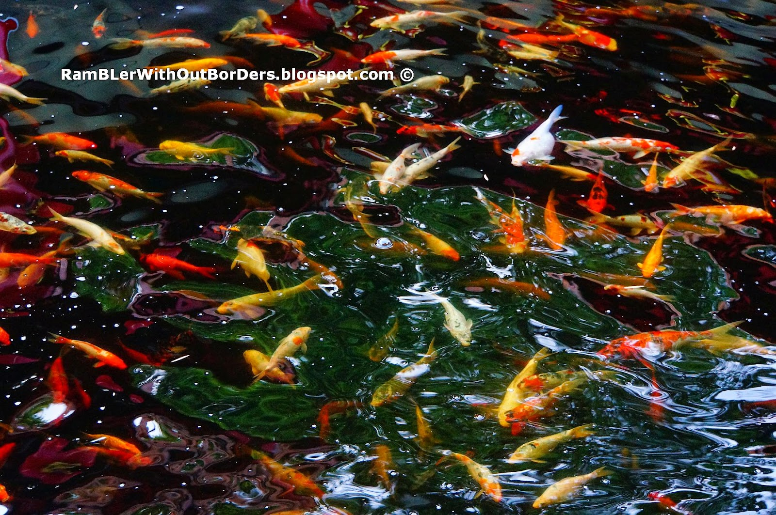 Rambler without borders february 2015 for Chinese koi pond