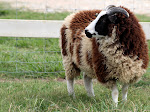 Click on Daylily to visit our flock of Jacob Sheep