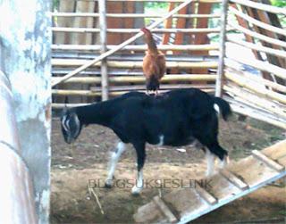 kambing dan ayam