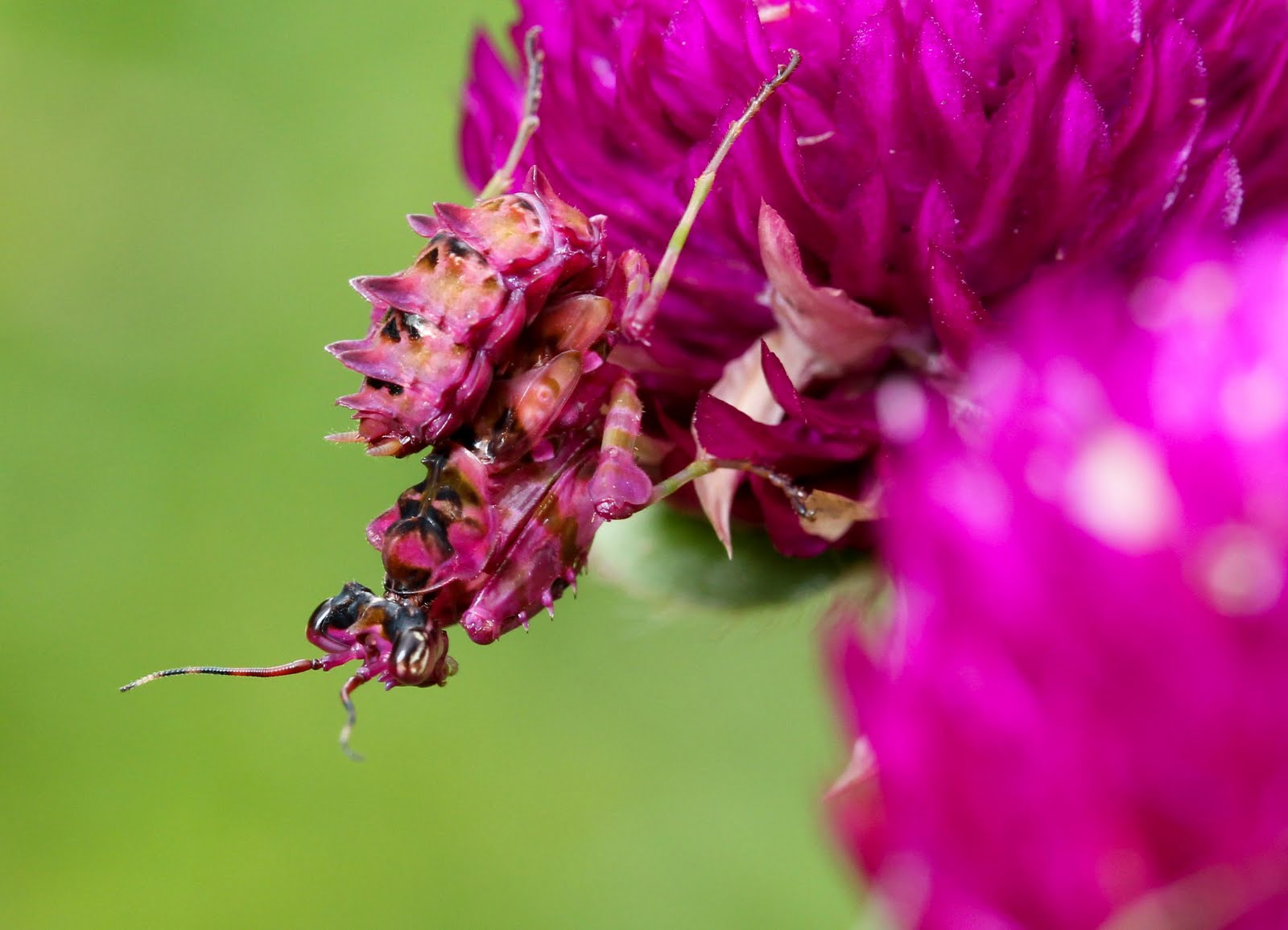 Uganda Wildlife Ecology And Travel Spiny Flower Mantis Nymphs