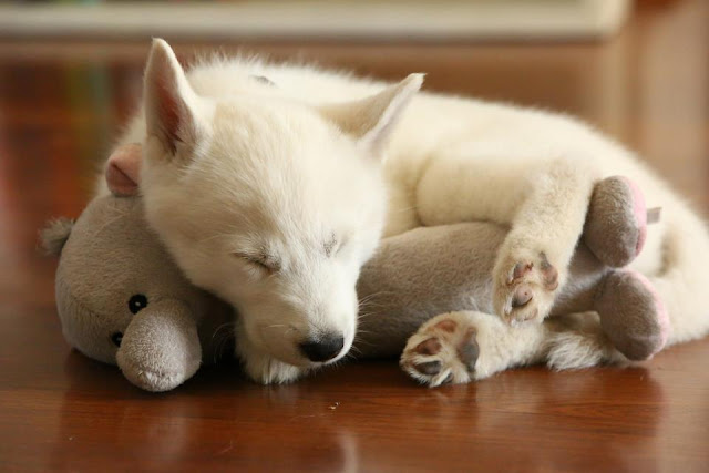 cute sleeping puppies, puppy sleeps with his stuffed toy