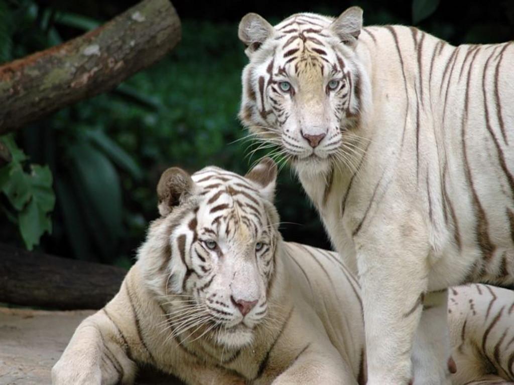 Hd wallpapers white tiger hd wallpaper 1080p - White tiger wallpaper free download ...